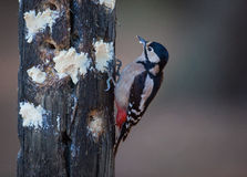 Greater Spotted Wood pecker feeding Royalty Free Stock Images