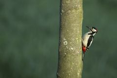 Greater Spotted Woodpecker Stock Photos