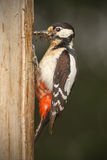 Greater spotted woodpecker with beak full of insects Stock Image