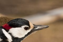 Greater spotted woodpecker. Close up of head of greater spotted woodpecker (dendrocopus major Royalty Free Stock Images