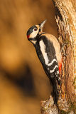 Greater spotted woodpecker in early light Stock Photo