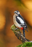 Greater spotted woodpecker with golden foliage Stock Photos