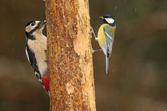 Greater spotted woodpecker and great tit Stock Photo