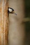 Greater spotted woodpecker appearing from nest Royalty Free Stock Image