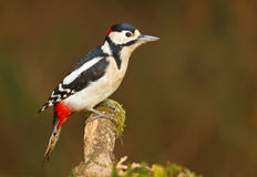 Greater spotted woodpecker on mossy branch Stock Photo
