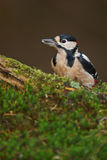 Greater spotted woodpecker on mossy perch Royalty Free Stock Image