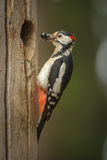 Greater spotted woodpecker with a mouthfull of food for his chic Royalty Free Stock Image