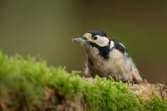 Greater spotted woodpecker. On a natural background and moss covered log Stock Photo