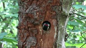 Greater Spotted Woodpecker Nest stock video