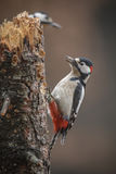 Greater spotted woodpecker Royalty Free Stock Images
