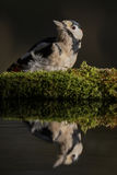 Greater spotted woodpecker. A greater spotted woodpecker reflected in a small pool Royalty Free Stock Photo