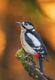 Greater spotted woodpecker sitting still Royalty Free Stock Images