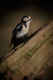 Greater spotted woodpecker in sunlight Royalty Free Stock Images