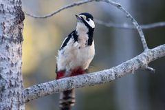Greater spotted woodpecker Royalty Free Stock Photo