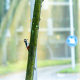 Greater spotted woodpecker Royalty Free Stock Image