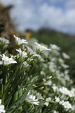 Greater Stitchwort Stock Images