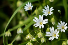 Greater Stitchwort Royalty Free Stock Image