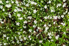 Greater stitchwort flowers. Close up of beautiful white blooming Stellaria as forest flowerbed Stock Photo