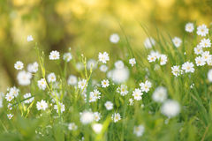 Greater Stitchwort Flowers in Springtime Royalty Free Stock Photos