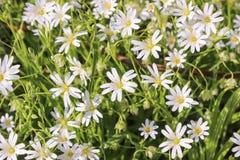 Greater stitchwort, stellaria Royalty Free Stock Image