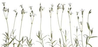 Greater stitchwort, or Stellaria holostea Stock Image
