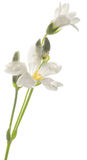 Greater stitchwort, or Stellaria holostea Royalty Free Stock Image