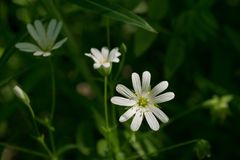 Greater stitchwort Stellaria holostea flower Royalty Free Stock Photography