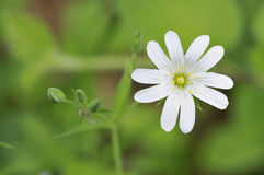 Greater Stitchwort Royalty Free Stock Photography