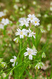 Greater stitchwort Royalty Free Stock Images