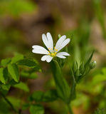 Greater Stitchwort Stock Photo