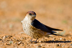 Greater Striped Swallow. Sit on the ground warming up in the morning sun Stock Images