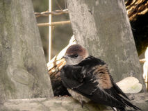 Greater Striped Swallow baby 2 Royalty Free Stock Photography