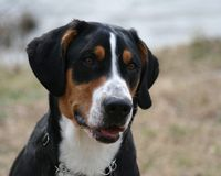 Greater Swiss Mountain Dog. Portrait of a beautiful Greater Swiss Mountain Dog, known as a Swissy to many breeders Stock Image