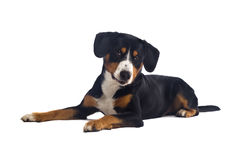 Greater Swiss Mountain Dog Stock Photos