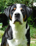 Greater Swiss Mountain Dog, adult. Stock Images