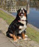 Greater Swiss Mountain Dog Stock Photos