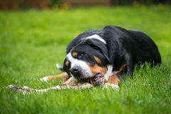 Greater swiss mountain dog eating a bone Royalty Free Stock Image