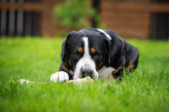 Greater swiss mountain dog eating a bone Royalty Free Stock Photo