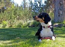 Greater Swiss Mountain Dog Looking To The Side. A majestic Greater Swiss Mountain dog sits in the grass of a yard garden looking off to the side royalty free stock photo