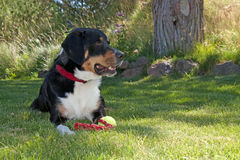 Greater Swiss Mountain Dog With Toy. A majestic Greater Swiss Mountain dog sits in the grass with his tennis ball toy Stock Image
