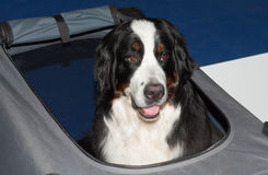 Greater Swiss mountain dog on transport box Stock Image