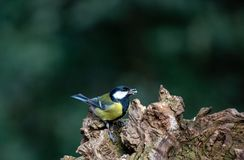 Greater Tit, perched on an old rotting tree stump stock images