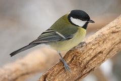 Greater titmouse Stock Images