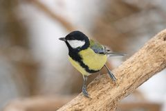 Greater titmouse Royalty Free Stock Photography