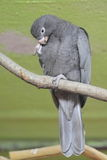 Greater vasa parrot. The greater vasa parrot sitting on the branch Stock Image