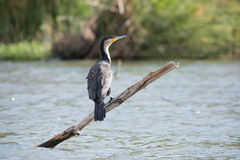 Greater white-breasted cormorant on branch in lake Royalty Free Stock Image