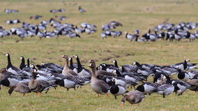 Greater white-fronted en Barnacle geese Royalty Free Stock Image