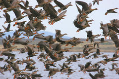 Greater White-fronted Geese Royalty Free Stock Image
