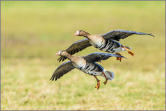 Greater White-fronted Geese - Anser albifrons. Greater White-fronted Geese are winter visitors to the UK Stock Image