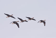 Greater White-fronted geese in flight Royalty Free Stock Photos